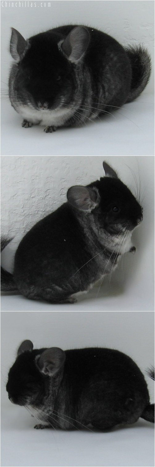 6103 Blocky, Brevi - Type Show Quality Black Velvet Female Chinchilla