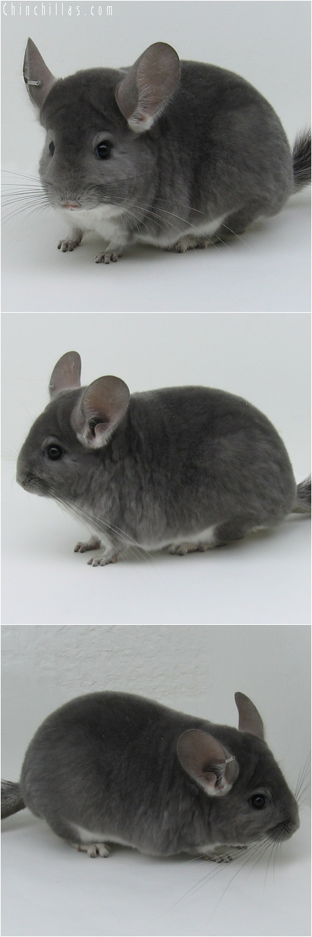6072 Show Quality Violet Female Chinchilla
