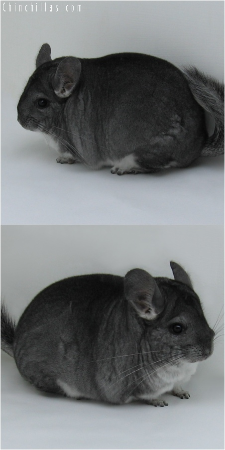 6112 Premium Production Quality Standard Female Chinchilla