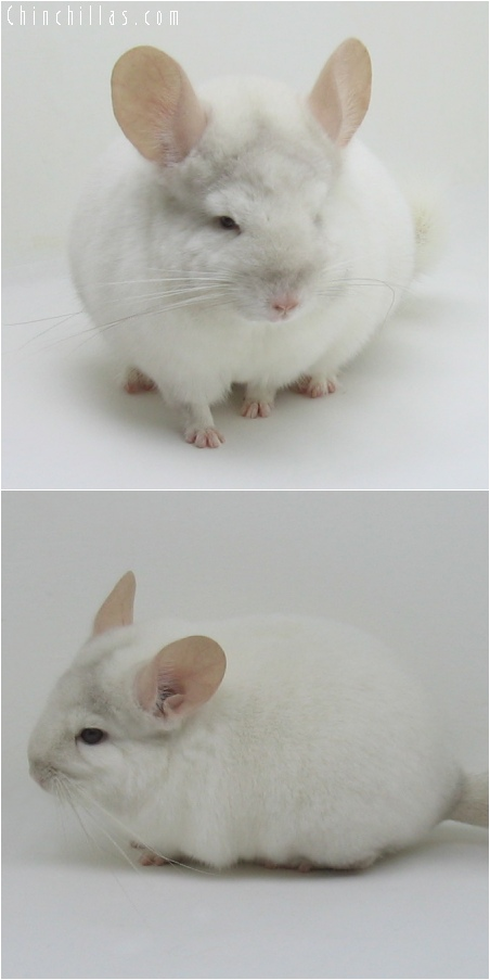 6115 Premium Production Quality Pink White ( Ebony Carrier ) Female Chinchilla