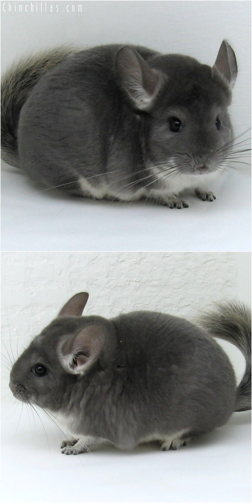 6110 Show Quality Violet Female Chinchilla