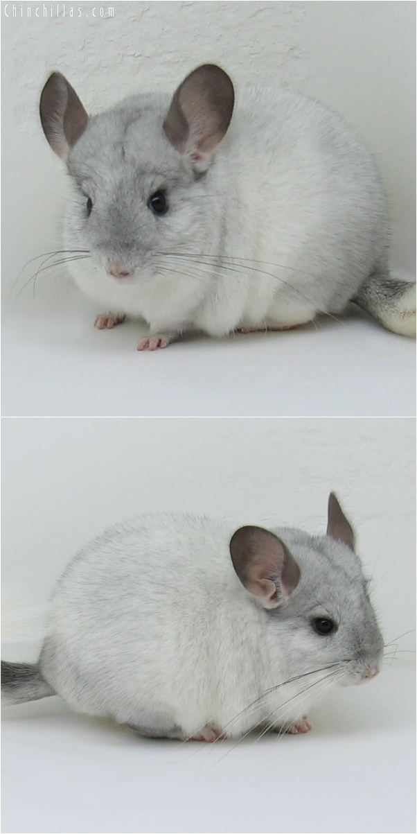 6114 White Mosaic ( Sapphire Carrier ) Female Chinchilla