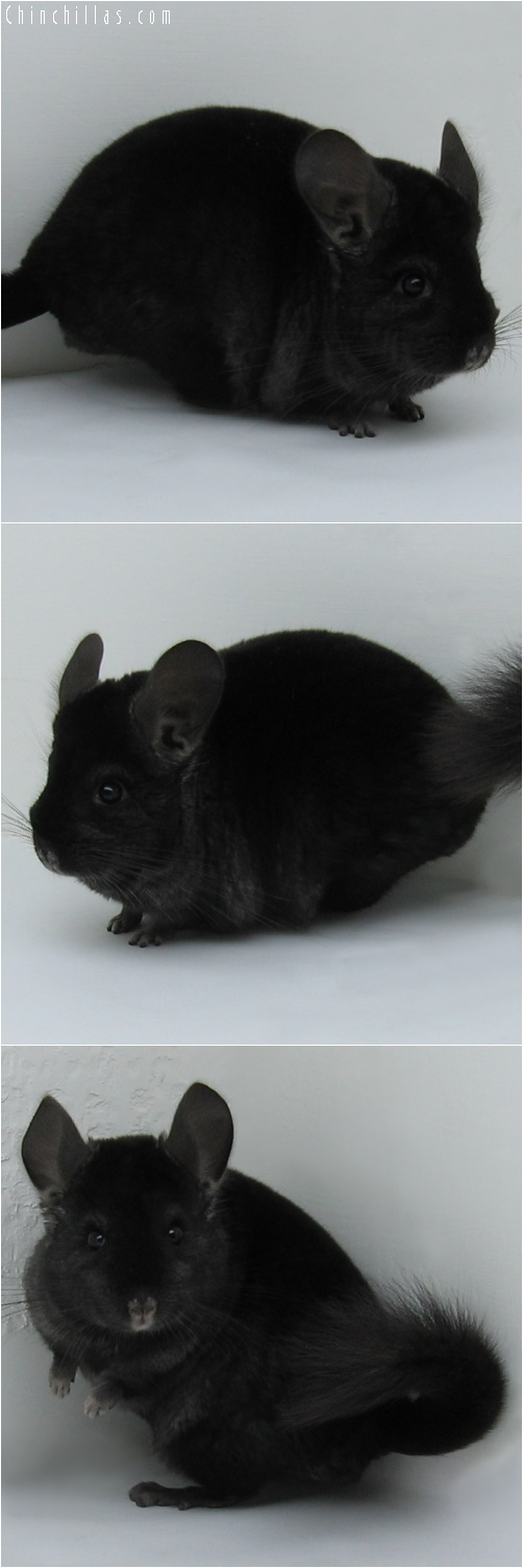 6111 Top Show Quality Ebony Male Chinchilla