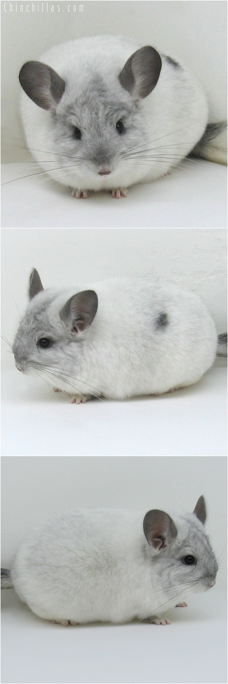 6130 Extra Large Show Quality White Mosaic Female Chinchilla