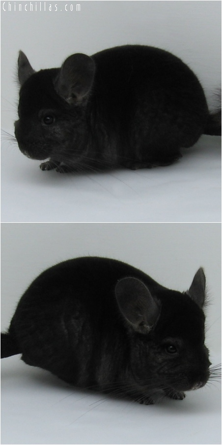 6123 Show Quality Dark Ebony Female Chinchilla