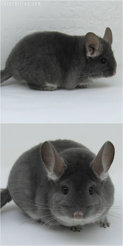 6124 Show Quality Violet (Ebony Carrier) Female Chinchilla