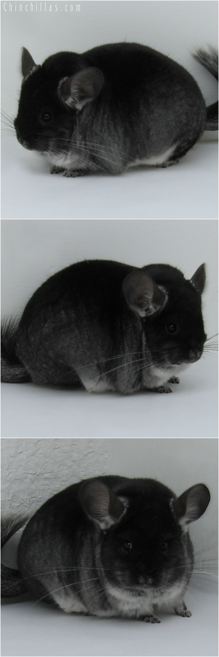 6093 Large Show Quality Black Velvet Female Chinchilla