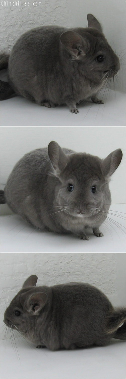 6136 Large Show Quality Wrap - around Violet Female Chinchilla