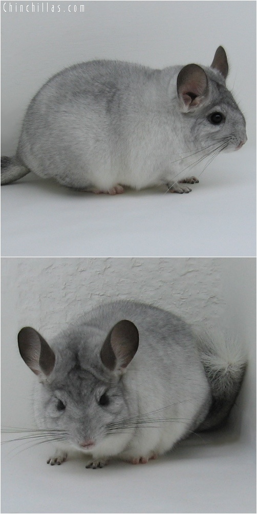 6120 White Mosaic ( Sapphire Carrier ) Female Chinchilla