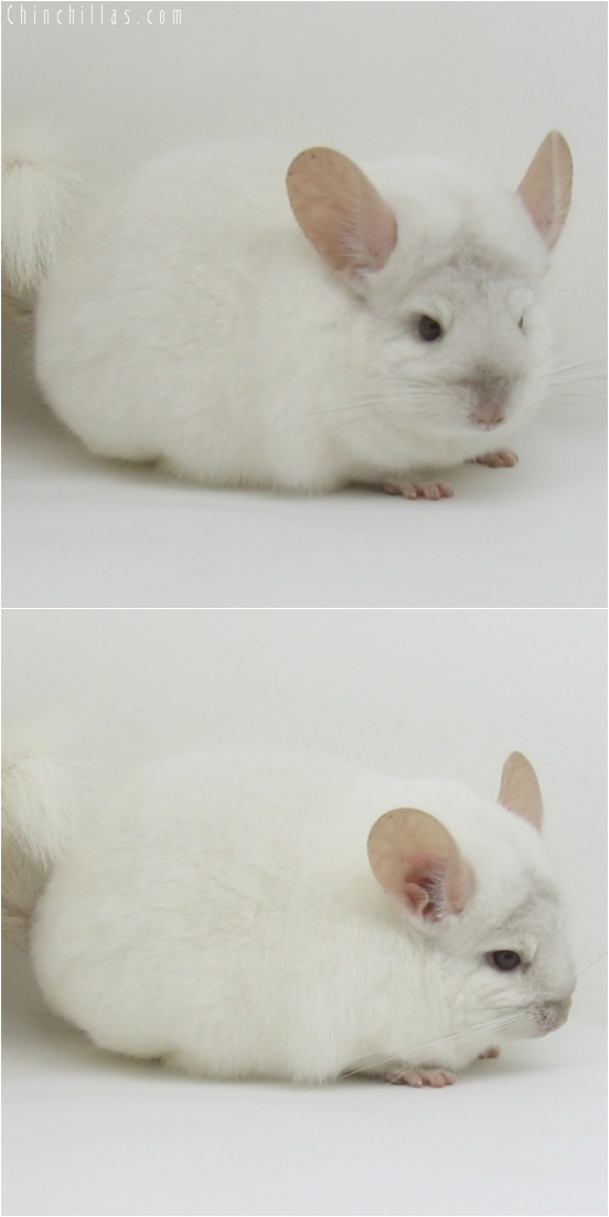 6139 Premium Production Quality Pink White ( Ebony Carrier ) Female Chinchilla