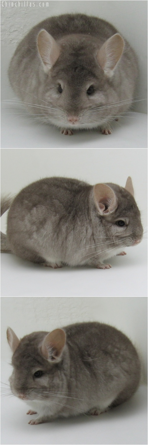 6143 Large Show Quality Beige Female Chinchilla