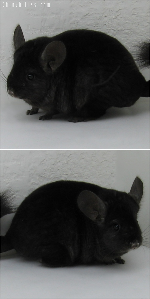 6144 Show Quality Ebony ( Violet Carrier ) Female Chinchilla