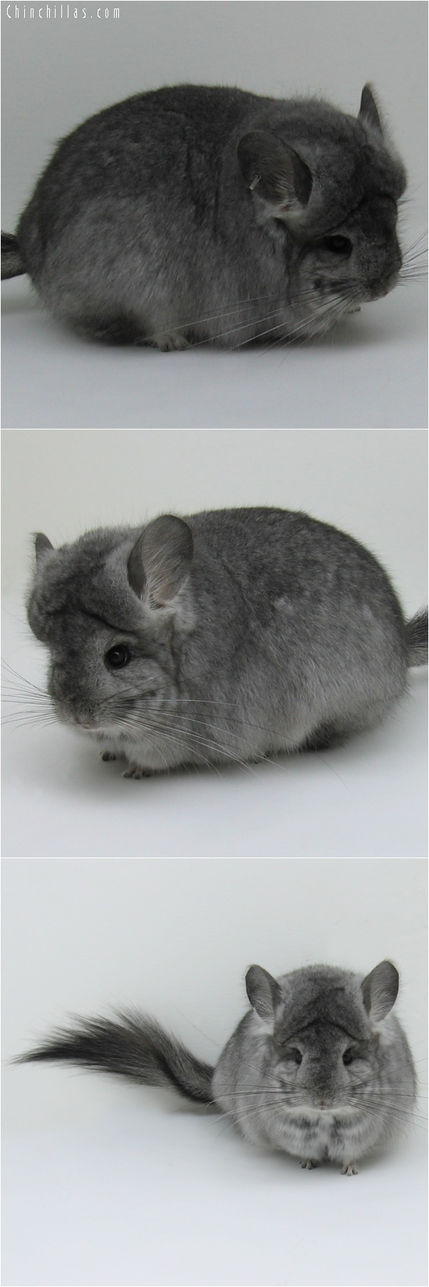6140 Exceptional Standard Royal Persian Angora Female Chinchilla