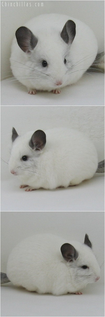 6137 Premium Production Quality White Mosaic Female Chinchilla