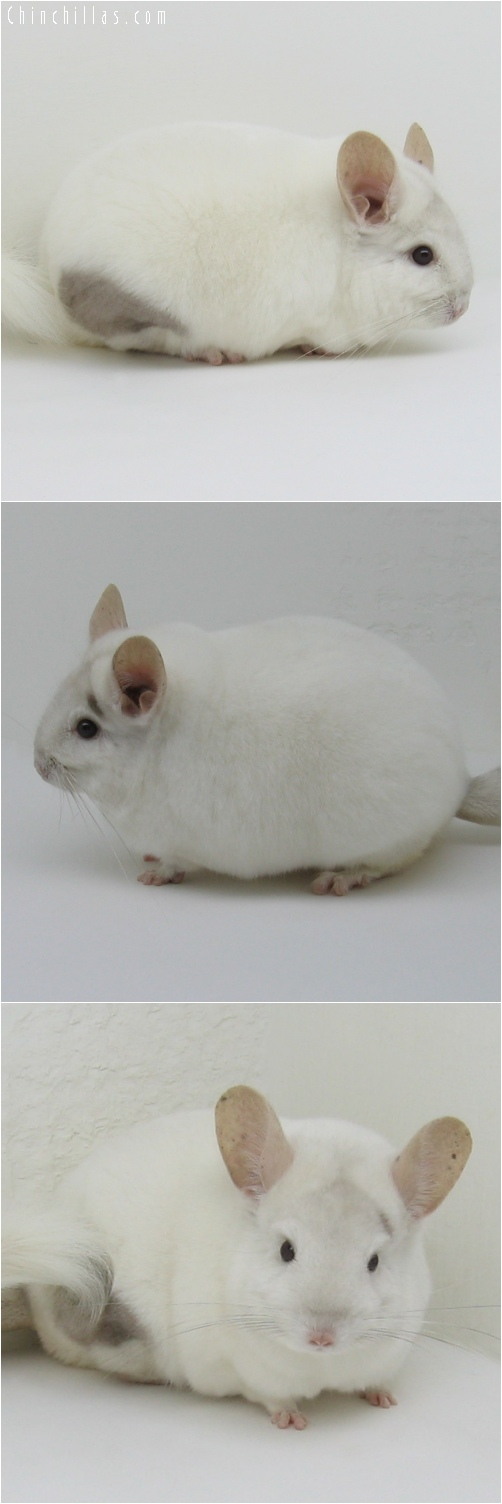 6150 Extra Large Premium Production Quality Pink White Female Chinchilla