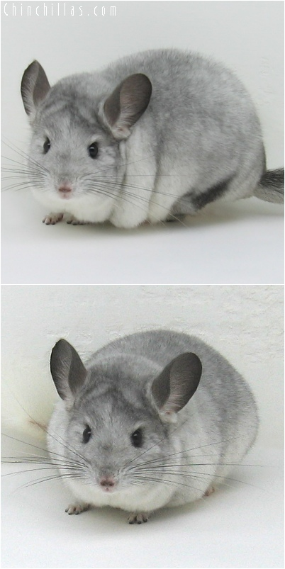 6154 Show Quality White Mosaic Female Chinchilla