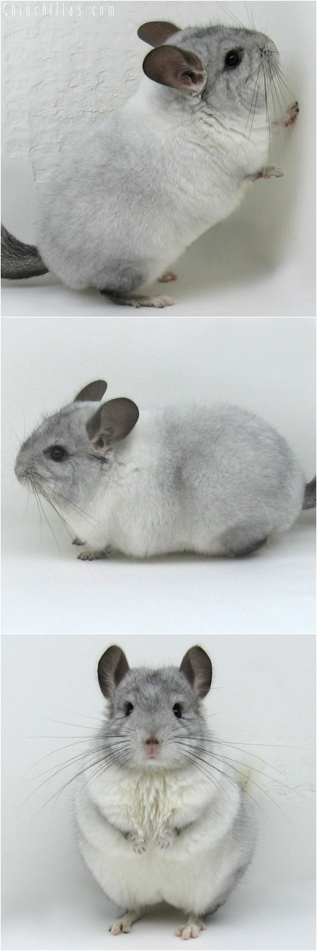 6121 - 2006 MCBA National 1st Place White Mosaic Male Chinchilla