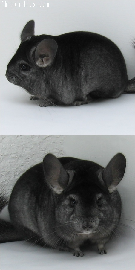 6105 Large Show Quality Ebony Female Chinchilla