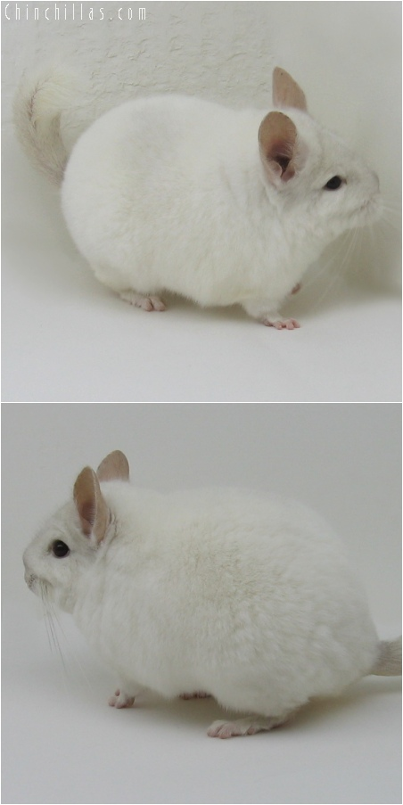6162 Premium Production Quality Pink White Female Chinchilla