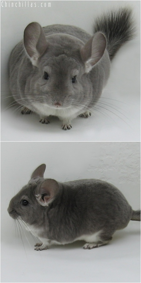6164 Large Show Quality Violet Female Chinchilla