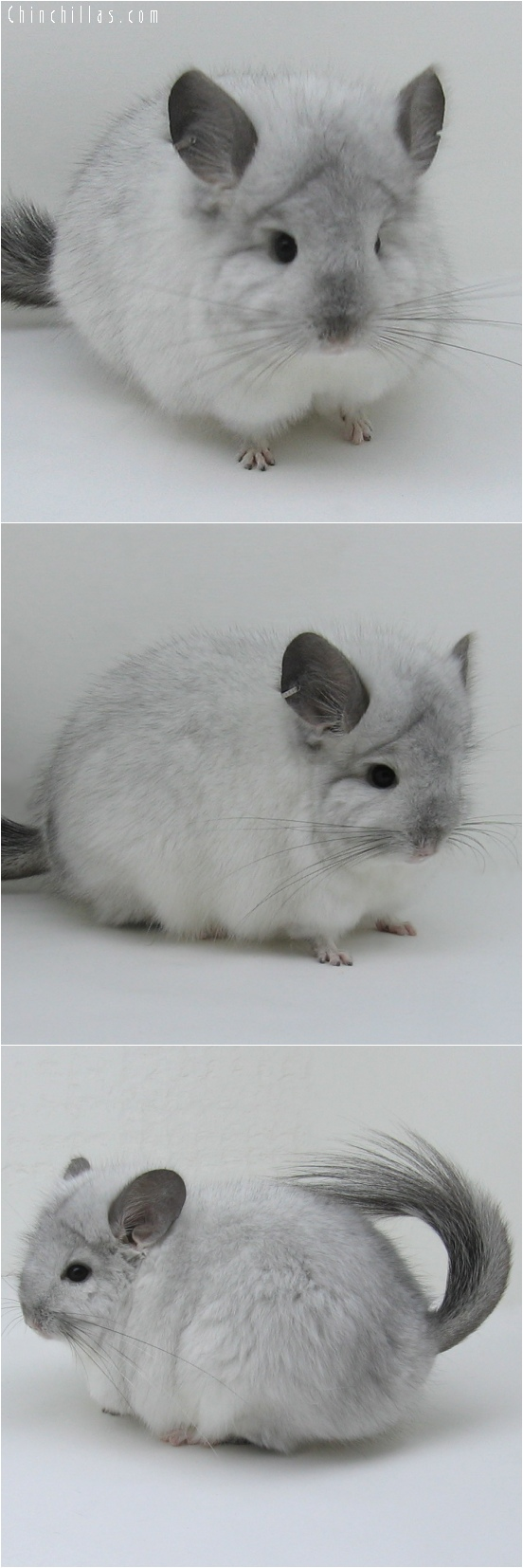 6146 Exceptional White Mosaic Royal Persian Angora Male Chinchilla