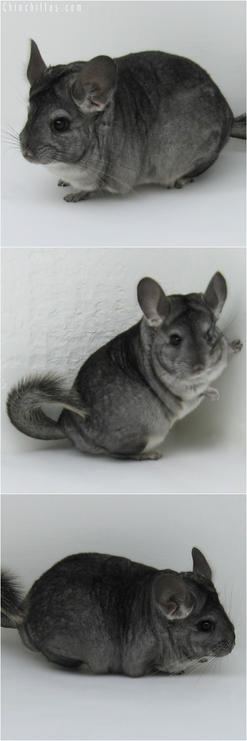 6160 Show Quality Standard ( Violet Carrier ) Female Chinchilla