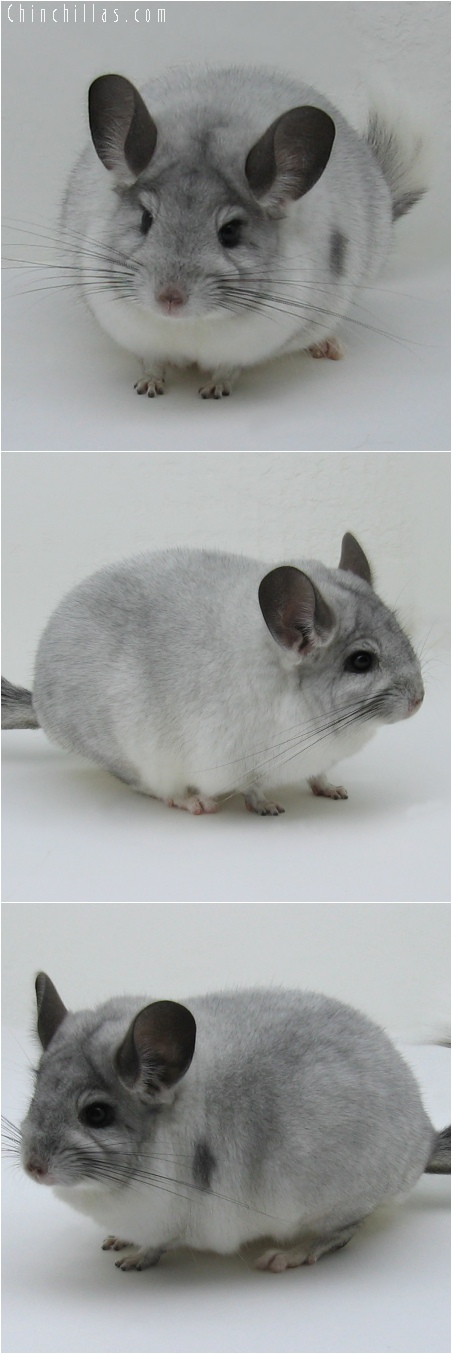 6125 Large Premium Production Quality White Mosaic Female Chinchilla