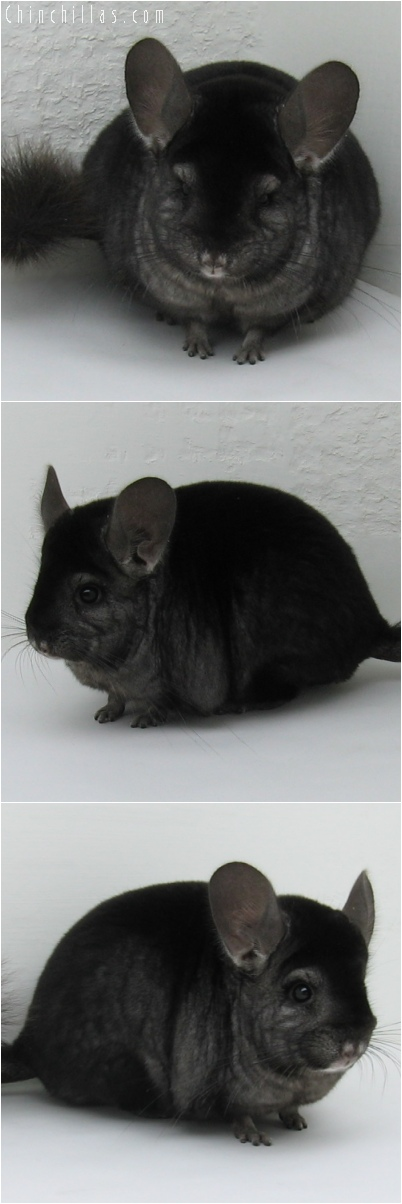 6153 Premium Production Quality Ebony Female Chinchilla