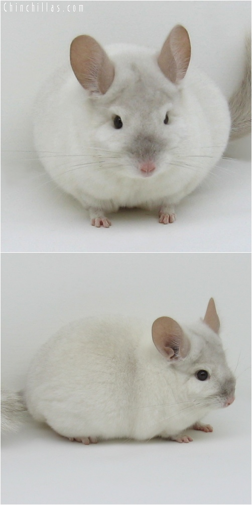 6166 Show Quality Pink White Male with Spot Chinchilla