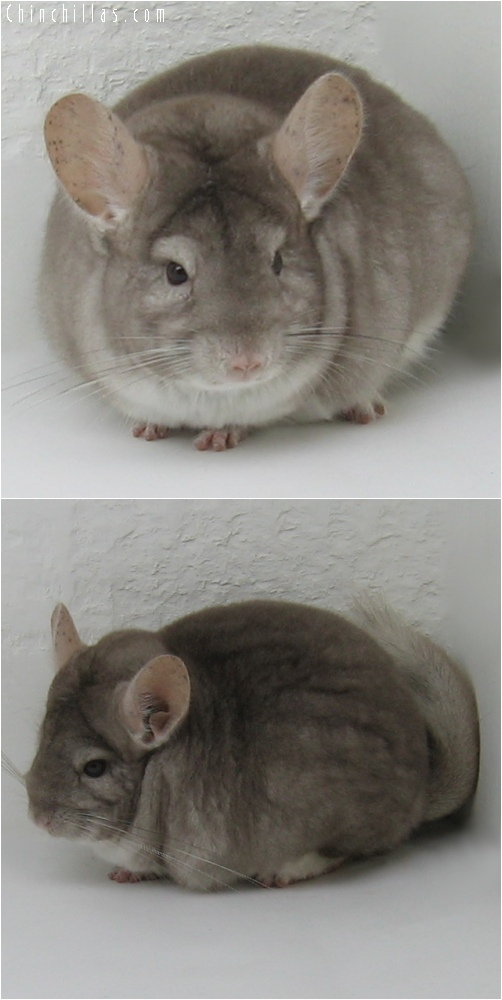 6169 Show Quality Beige Female Chinchilla