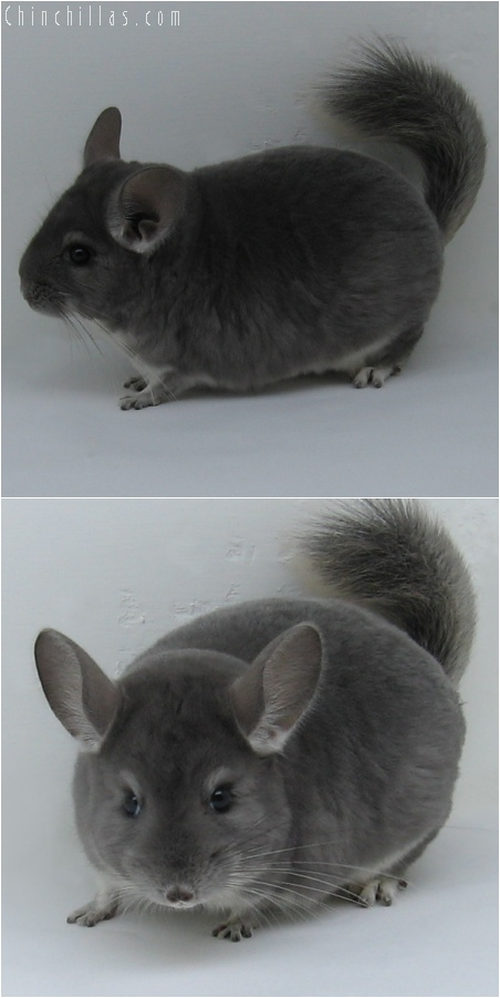 6108 Show Quality Violet Male Chinchilla