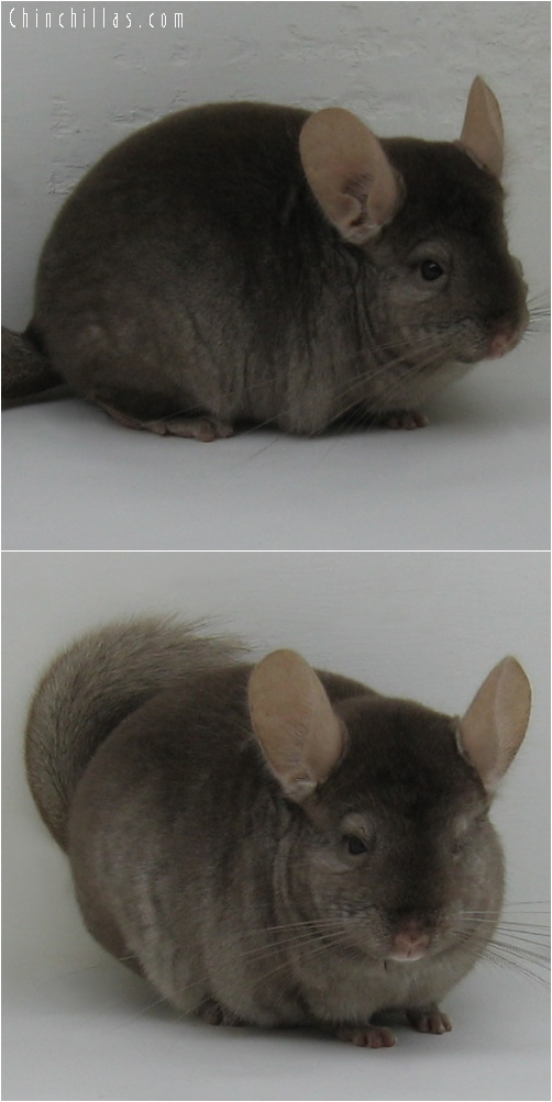 6171 Tan Female Chinchilla