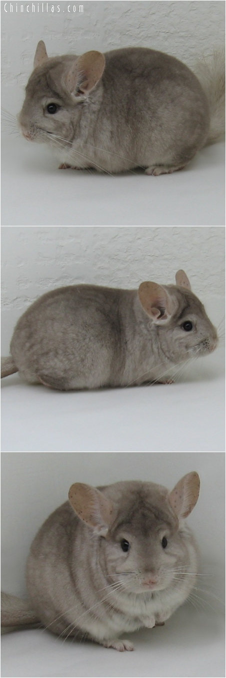 6174 Show Quality Beige Female Chinchilla