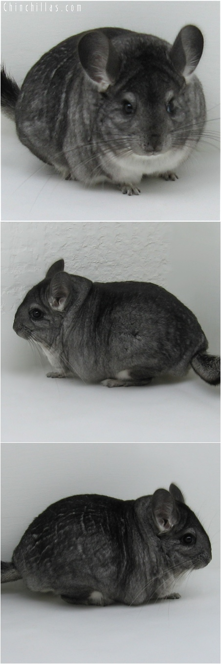 6177 Large Blocky Show Quality Standard Female Chinchilla