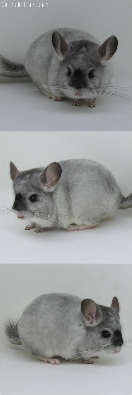 6179 Unique Show Quality White Mosaic Male w/ Mask Chinchilla