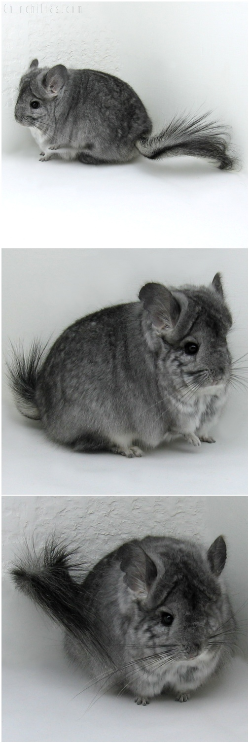 6189 Standard Royal Persian Angora Female Chinchilla