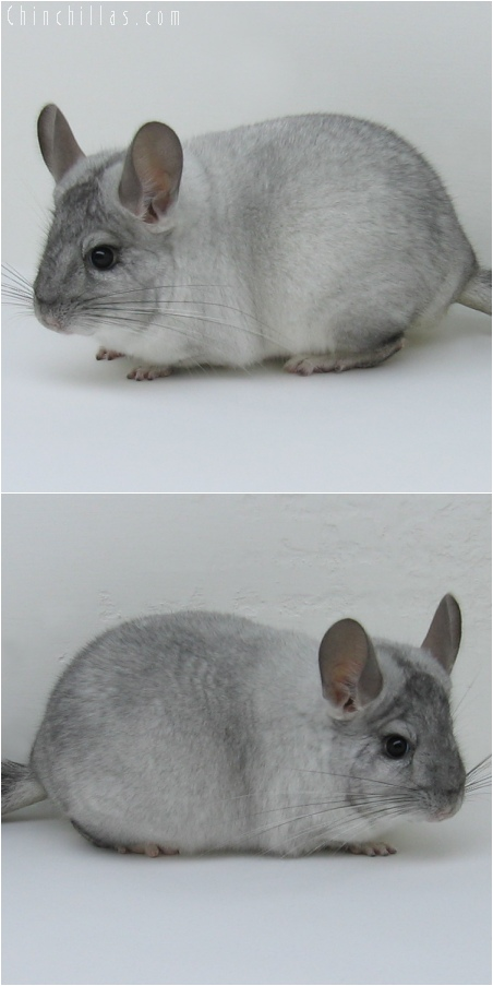 6128 Show Quality White Mosaic ( Sapphire Carrier ) Male Chinchilla