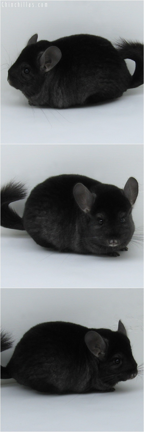 6156 Premium Production Quality Ebony Female Chinchilla