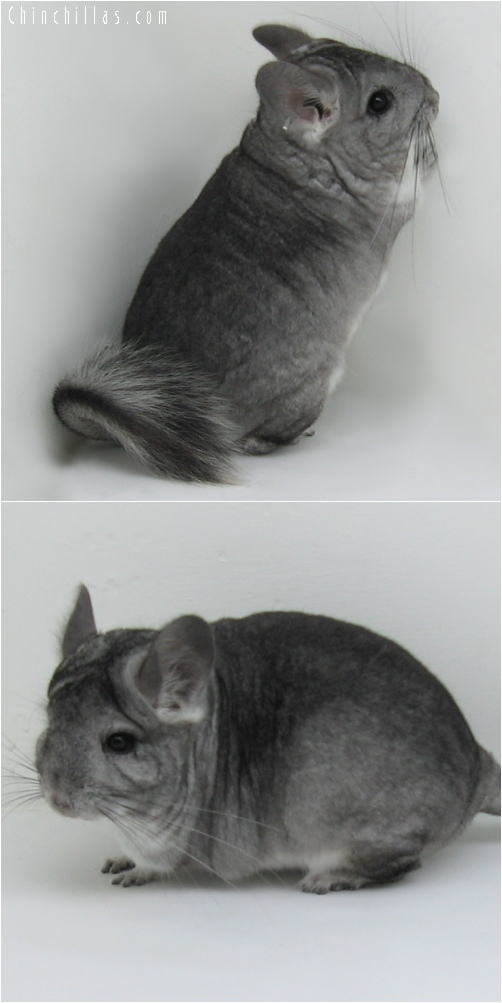 6138 Standard ( Royal Persian Angora Carrier ) Female Chinchilla