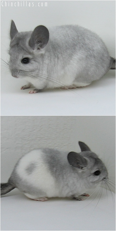 6157 White Mosaic ( Royal Persian Angora Carrier ) Female Chinchilla