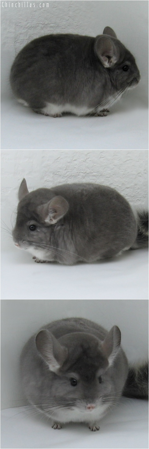 6206 Violet Male Chinchilla