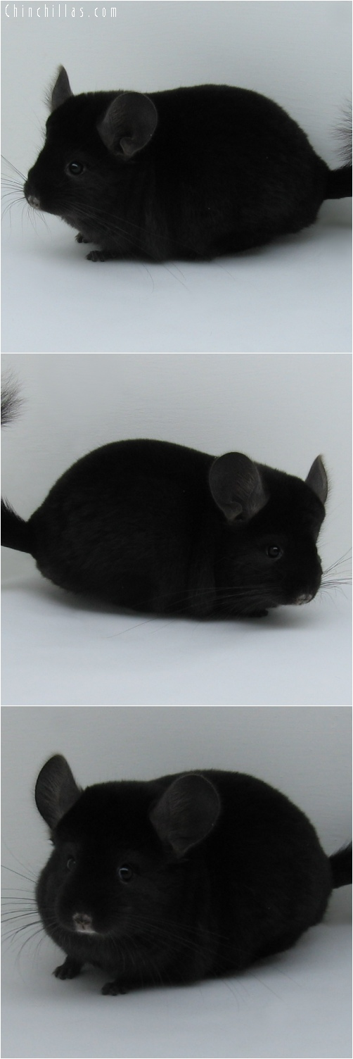 6208 Premium Production Quality Ebony Female Chinchilla