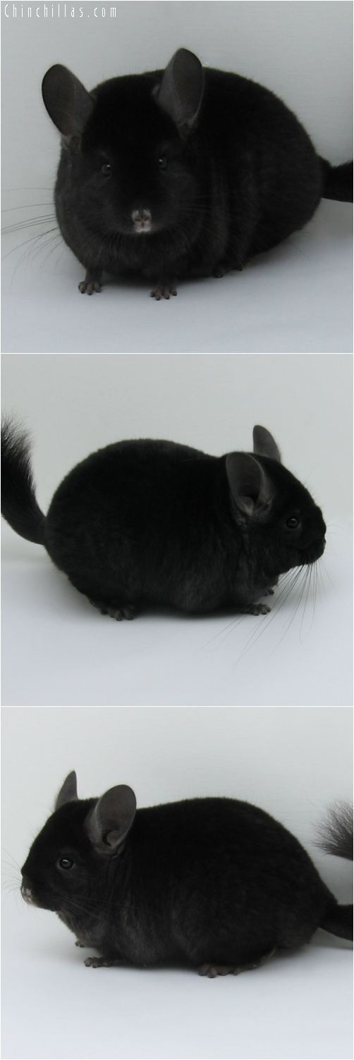 6204 Premium Production Quality Dark Ebony Female Chinchilla