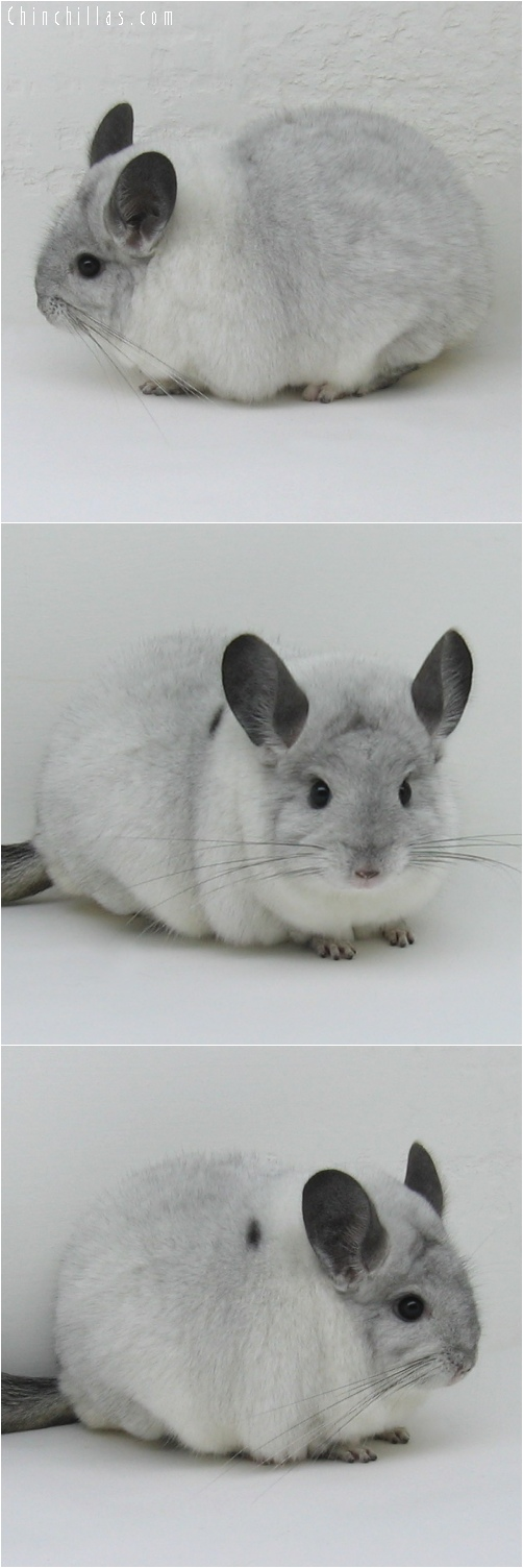 6222 Large Show Quality White Mosaic ( Sapphire Carrier ) Female Chinchilla