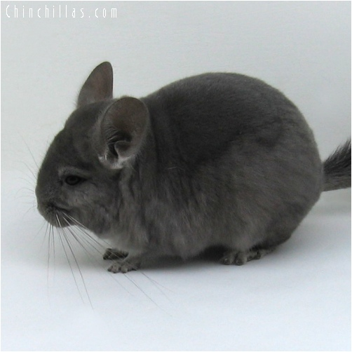 6214 Wrap - around Violet Female Chinchilla