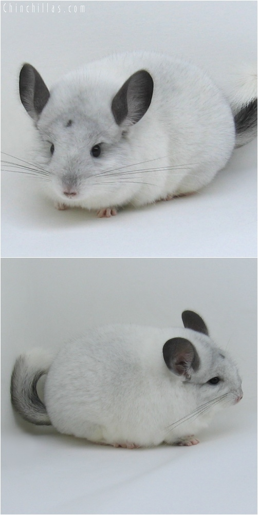 6213 Show Quality White Mosaic Female w/ Body Spot Chinchilla