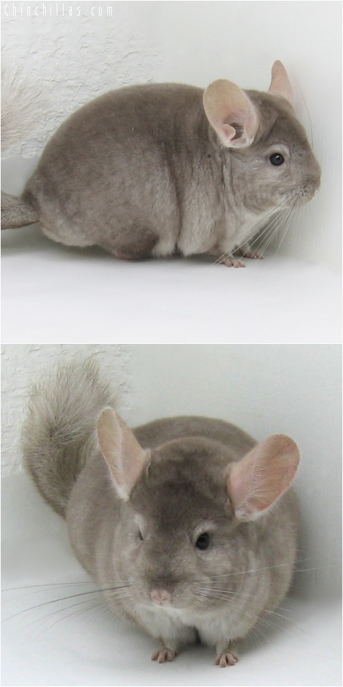 6217 Show Quality Beige ( Ebony & Violet Carrier ) Female Chinchilla