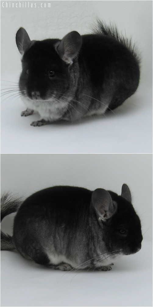 6212 Black Velvet ( Sapphire Carrier ) Male Chinchilla