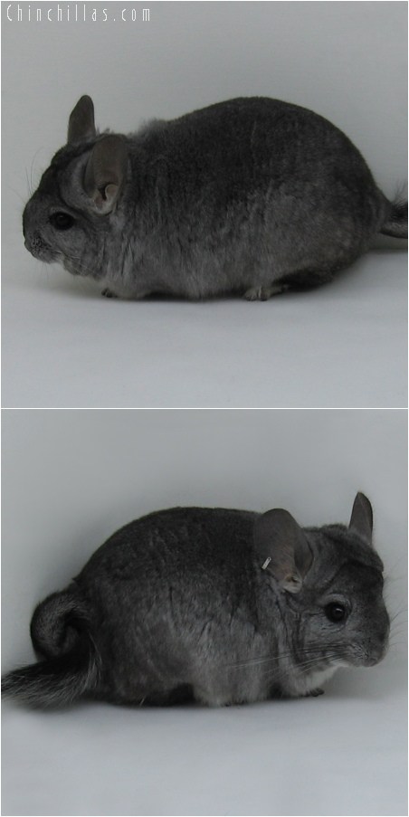 6193 Large Standard ( Royal Persian Angora Carrier ) Male Chinchilla