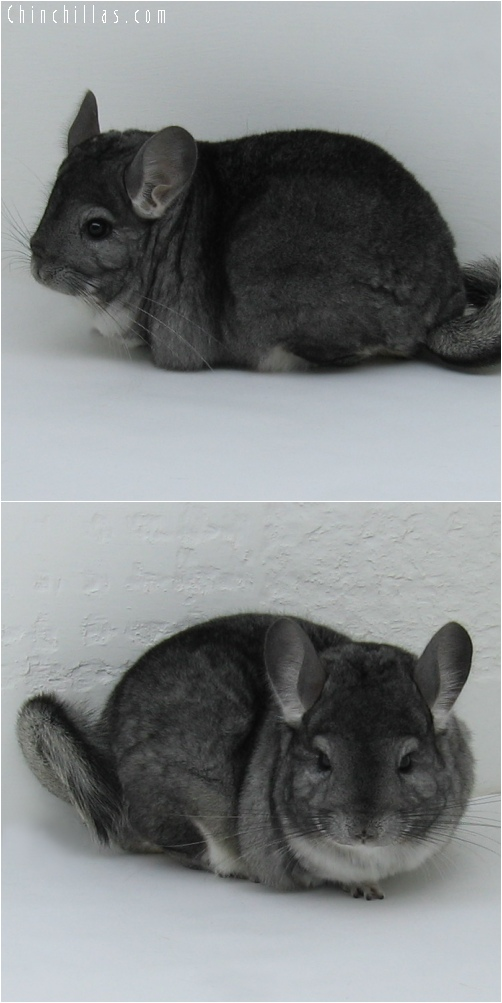 6224 Large Premium Production Quality Standard Female Chinchilla